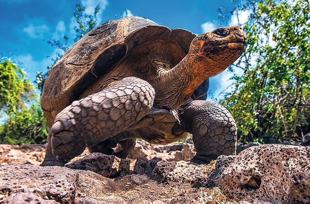 Turtle Santa Cruz Galapagos